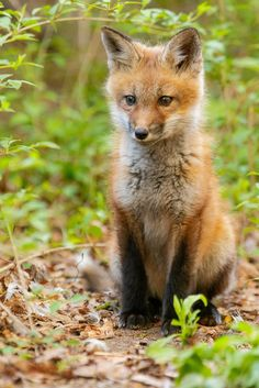 Red Fox Cub by npurmort Fox Pictures, Cute Animal Photos, Animals And Pets, Baby Animals, Cute Animals, Wild Animals, Baby Red Fox, Fennec, Most Beautiful Animals