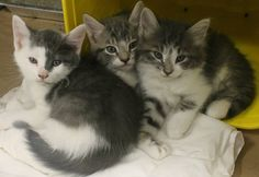 Intake: 6/25 Available: 7/1 NAME: Tilly, Jilly, & Billy  ANIMAL ID: 28222438-2440-2458 BREED: DMH  SEX: 2 female 1 male  EST. AGE: 6 weeks  Est Weight: 1.8-1.10 lbs  Health:  Temperament: Friendly  ADDITIONAL INFO:  RESCUE PULL FEE: FREE!!