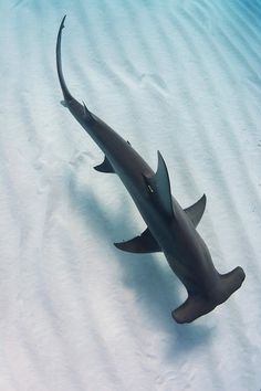 A hammerhead shark swims in the ocean - AnimalPins Beautiful Sea Creatures, Animals Beautiful, Cute Animals, Shark Pictures, Shark Photos, Underwater Creatures, Ocean Creatures, Underwater Animals, Shark In The Ocean
