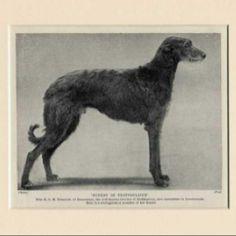 Scottish Deerhound. I find vintage dog photos fascinating.