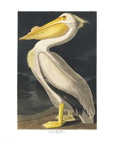 American White Pelican from Birds of America (1827) illustrated by John James Audubon (1785 - 1851), etched by Robert Havell (1793 - 1878). The original Birds of America is the most expensive printed book in the world and a truly awe-inspiring classic. | premium image by rawpixel.com