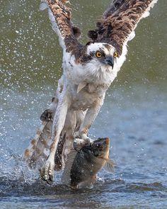Owl, Bird, Animal Action, Animals, Buffalo, Animales, Animaux, Owls, Birds
