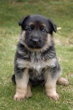 German Shepard puppy :) Look at that chubby thing!! I just wanna squeeze you!! :)