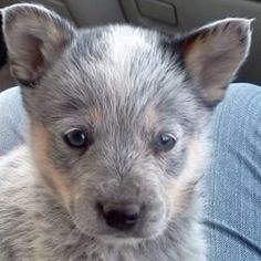 Blue Healer. Look at that face... I love how their eyes are first blue, and then they turn to that awesome caramel brown.
