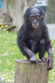 Winton - baby bonobo. There's no moral difference between the animals, birds, fish, and insects we hunt, those we use for entertainment, those we kill for food and use as commodities, and those we love as members of our families. All animals, birds, fish and insects are sentient and have a right to live. Go vegan and stay vegan for them. It's the least we can do. Start here: www.befairbevegan.com Adopt, spay and neuter your companion animals!