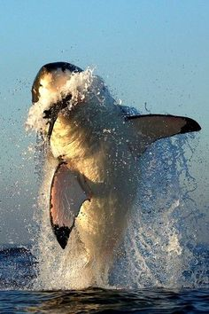"""White Shark: """"Hunting"""" by Alfred Weissenegger on 500 px."""