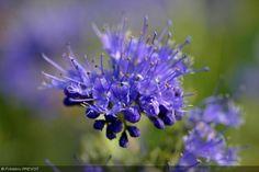 Caryopteris x clandonensis 'Kew Blue'. Nom commun : Caryoptéris de Clandon, Barbe bleue.  Feuilles caduques, gris vert.   Fleurs bleu violet intense.   Port en boule.   Origine : C. incana x C. mongholica.