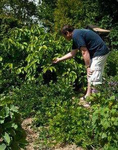 The next installment of Maddy Harland's blog series on forest gardening. This week how to choose the lower canopy.