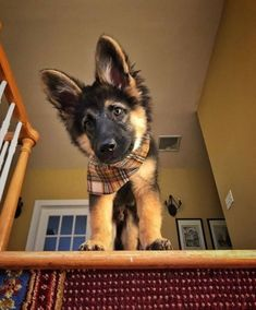 #germanshepherd GSD Puppy