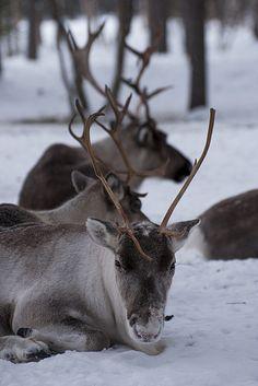 Reindeer near Inari, Northern Finland, at around °C Norway Winter, Flora And Fauna, Chilling, Reptiles, Pet Birds, Reindeer, Goats, Wildlife, Creatures