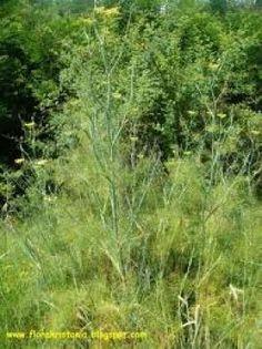 Μάραθος και Μαραθόριζα Foeniculum Vulgare, Trees, Garden, Plants, Garten, Tree Structure, Lawn And Garden, Gardens, Plant