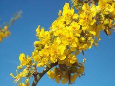 Flores de chañar-brea. Olta. Argentina.