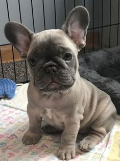 The major breeds of bulldogs are English bulldog, American bulldog, and French bulldog. The bulldog has a broad shoulder which matches with the head. French Bulldog Facts, Cute French Bulldog, French Bulldog Puppies, Cute Dogs And Puppies, French Bulldogs, Doggies, Baby Bulldogs, English Bulldogs, Cute Baby Animals