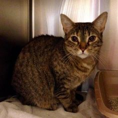Meet Elsie, a Petfinder adoptable Tabby - Brown Cat | Sunbury, PA | Elsie came so SAH with 7 babies! All of her kittens quickly found homes and she was left waiting...
