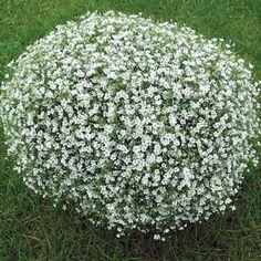 gypsophila gypsy white white gardensbabys breathwhite
