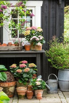 Hydrangeas potted in terracotta