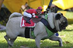 hahahaha, if he got on my pug's back he would be dizzy, she spins when she runs! Funny Dogs, Cute Dogs, Funny Animals, Cute Animals, Pugs In Costume, Dog Costumes, Costume Ideas, Pug Pictures, Animal Pictures