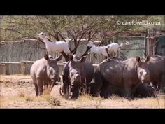 Rhinos and Goats Have a Unique Friendship | 1Funny.com