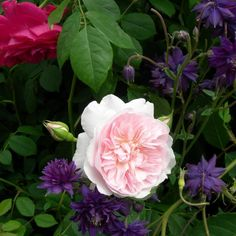 Ancolies et rose Wisley 2008 (David Austin), photo Delavie Alain