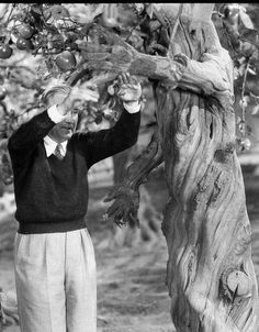 "Shot of Director Victor Fleming adjusting arm of apple tree ""Wizard of Oz'"