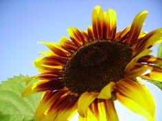 sunflower Fruit, Plants, Pictures, The Fruit, Flora, Plant, Planting
