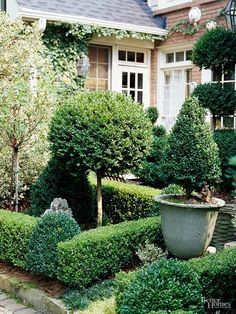 Boxwoods keep the garden looking well ordered throughout the year. These small-leafed evergreen shrubs grow as a dense, irregular mound, but they are easily transformed with hedge shears. Pruned boxwoods assume a variety of shapes, from simple spheres and crisp-lined hedges to fanciful topiaries./