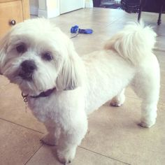 #mydog #lhasa #apso    This is what I want my boy to look like after his hair cut.