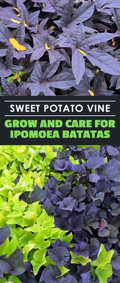 Learn all about the sweet potato vine… the ornamental sweet potato vine that is! It's a wonderful houseplant and ground cover so learn to grow it here. Sweet Potato Plant Vine, Potato Vine Planters, Sweet Potato Vines, Canning Sweet Potatoes, Growing Sweet Potatoes, Container Plants, Container Gardening, Gardening Tips, Urban Gardening