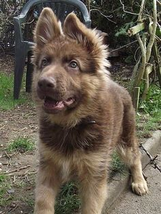 Liver German Shepherd Anyone know a good place to get one? oooh so adorable... I love their ears :)