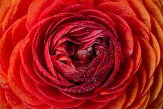 Red & Orange Ranunculus by Jose Antonio Tirado on 500px
