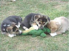 dogs attack alligator