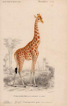 1861 giraffe antique safari engraving- rare and elegant. Original Antique Print.