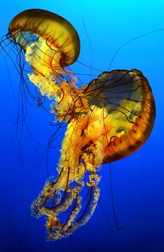 The Jellyfish Dance by Jaime Vinas Medusa, Underwater Creatures, Underwater Life, Vida Animal, Deep Sea Creatures, Sea Anemone, Life Aquatic, Belleza Natural, Animales