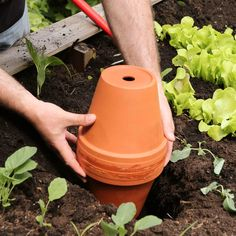 Garden irrigation with ollas- Gartenbewässerung mit Ollas The clay pots are ideal for urban gardening in the city. The finished Olla is sunk into the ground with the open drain hole facing up. The jar is filled with water every few days. Garden Types, Succulent Gardening, Garden Soil, Garden Care, Herb Garden Pallet, Pallets Garden, Pallet Gardening, Gardening Supplies, Gardening Tips