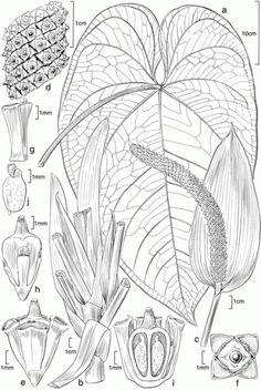 Anthurium ramoncaracasii. Scientific Illustration | American Society of Botanical Artists