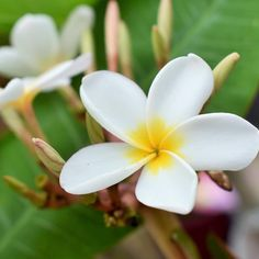 Plumeria Flower-The sole mention of Hawaii probably makes you think about fragrant and beautiful plumeria flower. Although they grow rampantly across all Hawaiian Island, many people are very surprised to learn they are not actually a native flower.