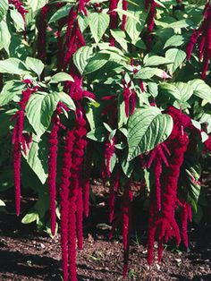 Love-lies-bleeding  Plant this every year in a hanging basket... at least 4 ft. off the ground the flowers (dreadlocks as I call them) hang down like this, beautiful, interesting and very different plant.