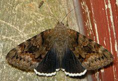 Epione underwing (Catocala epione)