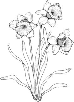 Narcissus 4 coloring page from Daffodil category. Select from 20946 printable crafts of cartoons, nature, animals, Bible and many more.