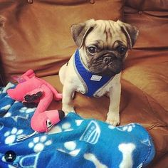 Reposted from @frank_being_a_pug  #pugs #pugsofinstagram #pugstagram #pugsproud #whitepug  TAG A FRIEND  by pugsproud