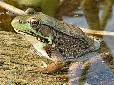 Google Image Result for http://www.frw.ca/albums/Amphibians/Green_frog_in_FRW_created_Pond_JR.jpg
