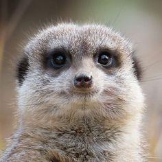 Meerkat   Durrell Wildlife (@DurrellWildlife) | Twitter