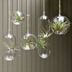Glass containers with airplants 'mobile'. Tillandsia