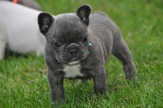 Traumhafte freiatmige blue French Bulldog... (Brieselang) - Französische Bulldogge -