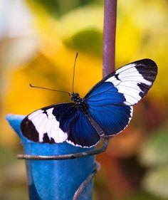 ~~Blue Butterfly by Saija Lehtonen~~