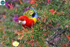 Vẹt Rosella phương đông châu Úc - Eastern rosella (Platycercus eximius)(Psittaculidae) IUCN Red List 3.1 : Least Concern (LC)(Loài ít quan tâm)