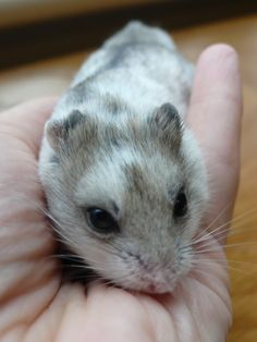 Dominant spot Chinese hamster