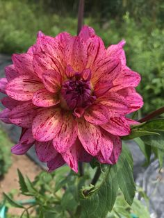 Mingus Toni dahlia Dahlia Flower, Bellisima, Porches, Garden Plants, Peonies, Planting Flowers, Bouquets, Beautiful Flowers, Butterflies