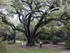 Nachez Oak
