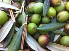 Olive appena raccolte 2014